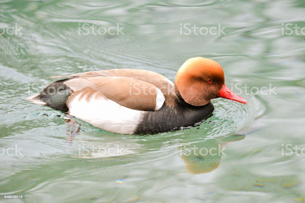 Colorful duck stock photo
