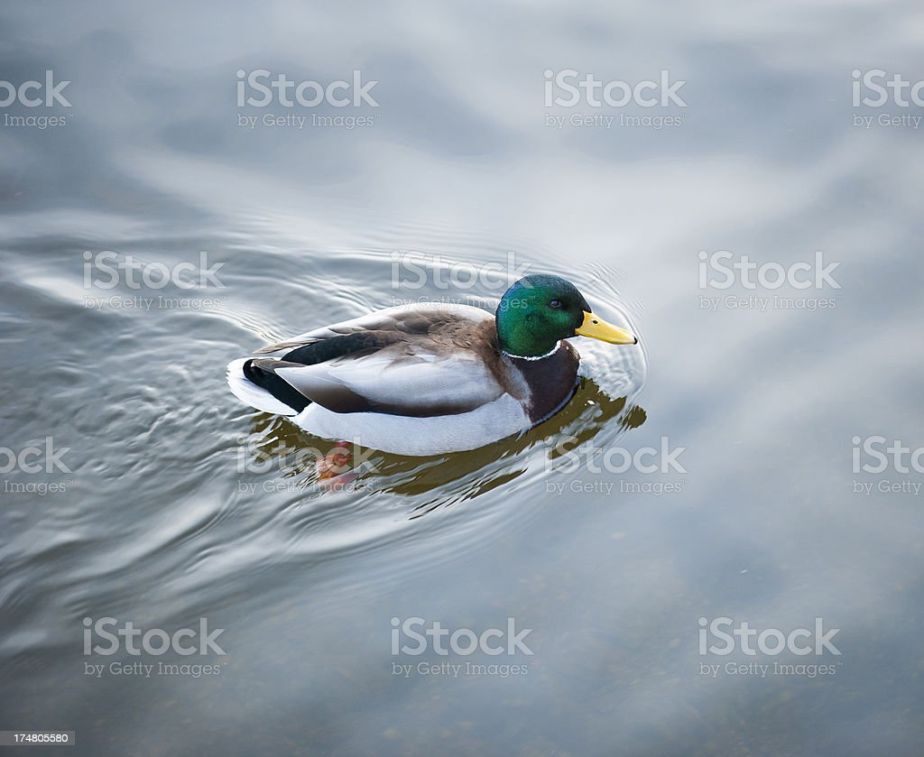 Colorful duck swimming royalty-free stock photo