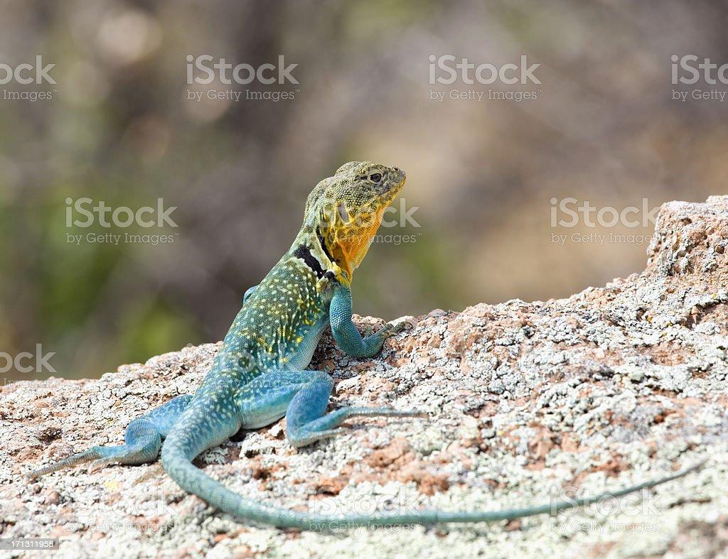 Colorful Eastern collared lizard, Crotaphytus Collaris,(Iguana Family) stock photo