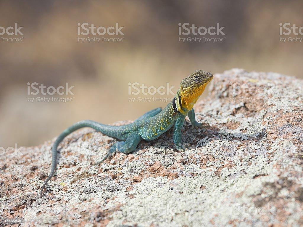 Colorful Eastern collared lizard, Crotaphytus Collaris (Iguana Family) stock photo