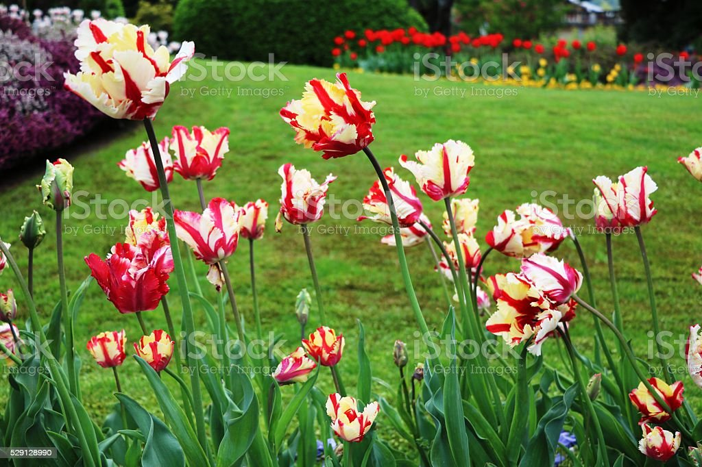 Colorful elite tulips bloom on Lake Maggiore in spring, Italy stock photo