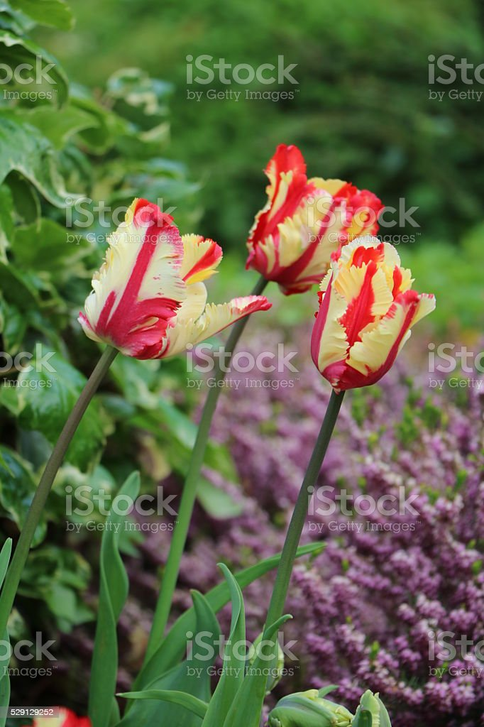 Colorful Elite tulips in spring, Italy stock photo