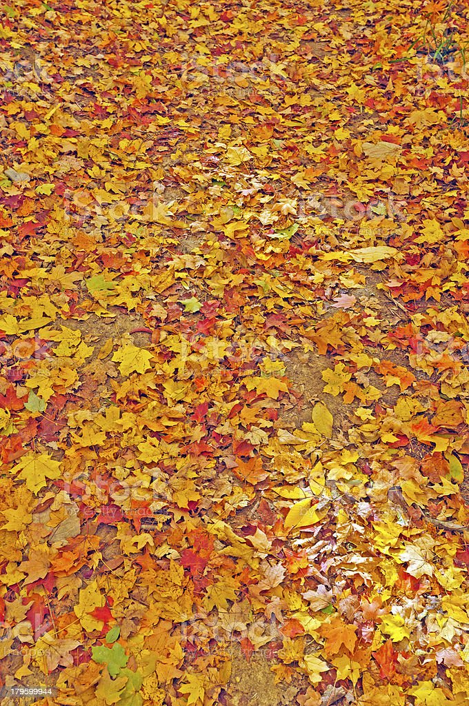 Colorful Fall Leaves on a Forest Floor stock photo