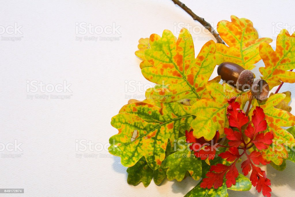 Colorful fall leaves with tree trunk and acorn on white background for text stock photo