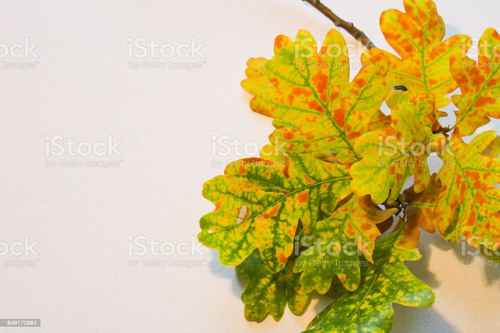 Colorful fall leaves with tree trunk on white background for text stock photo
