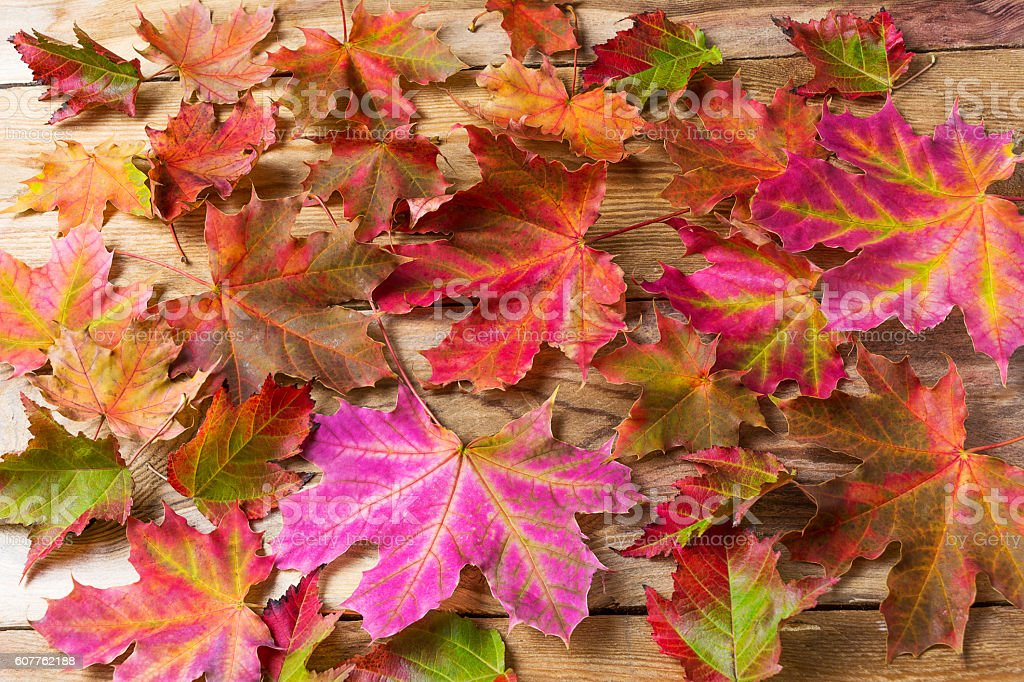 Colorful fall maple leaves background stock photo