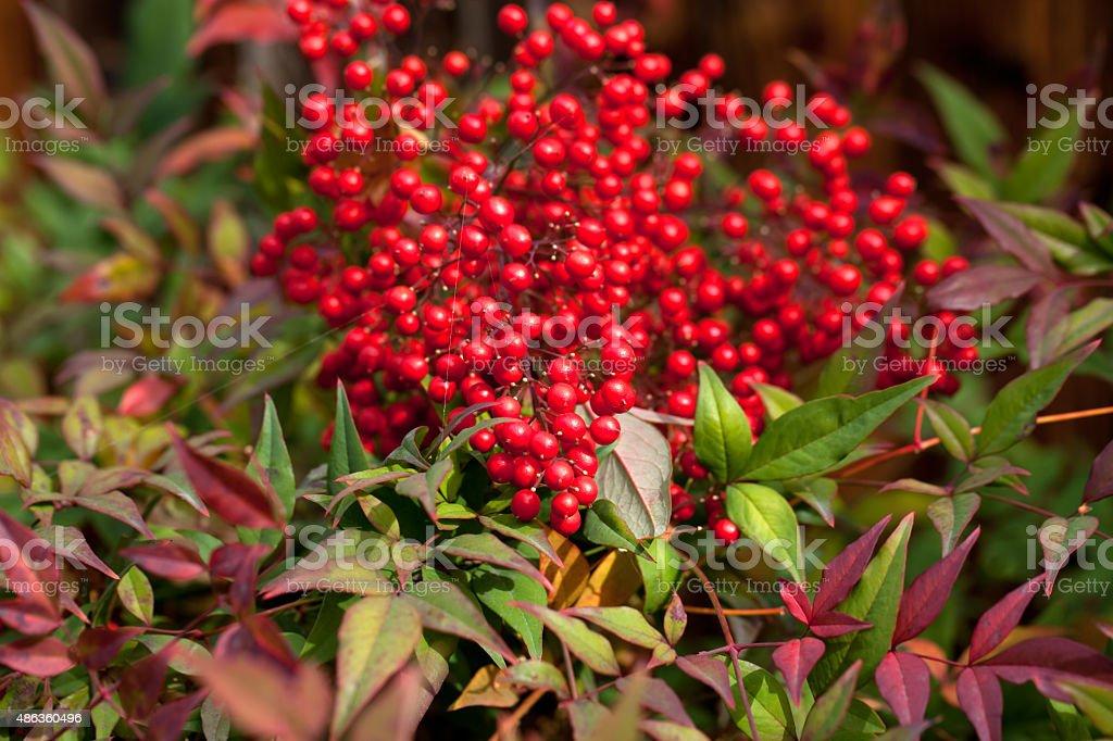 Colorful fall shrub with red berries ( Ardisia Crenata) stock photo