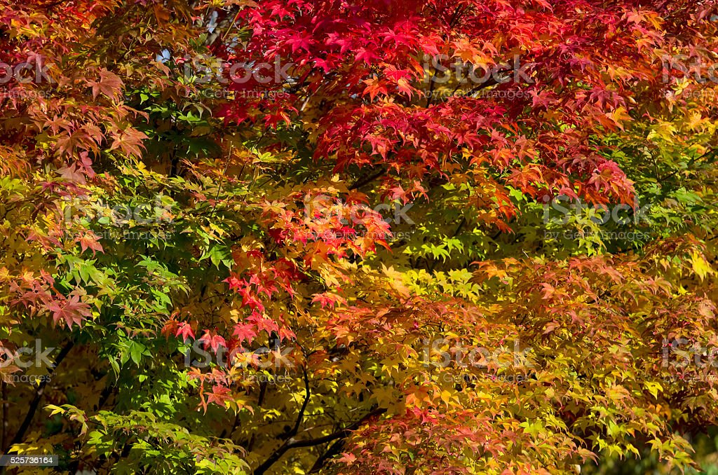 Colorful fall tree background royalty-free stock photo