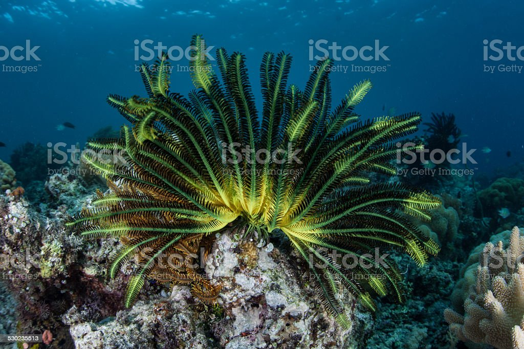 Colorful Featherstar stock photo
