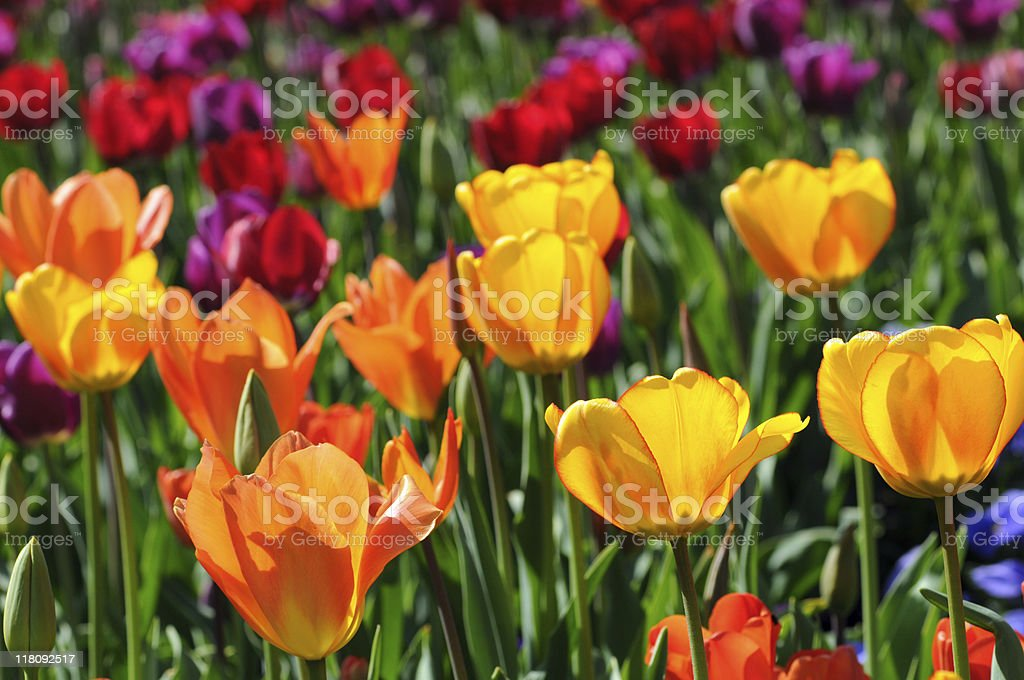 colorful field of tulips stock photo