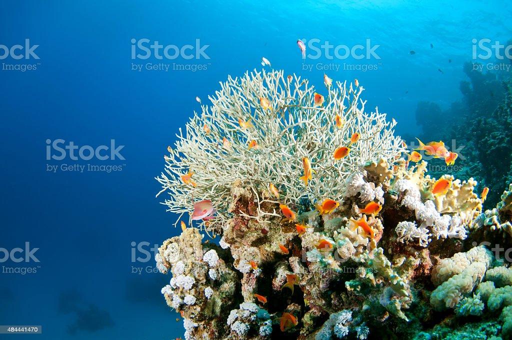 Peixes coloridos em recifes de corais do Mar Vermelho foto royalty-free