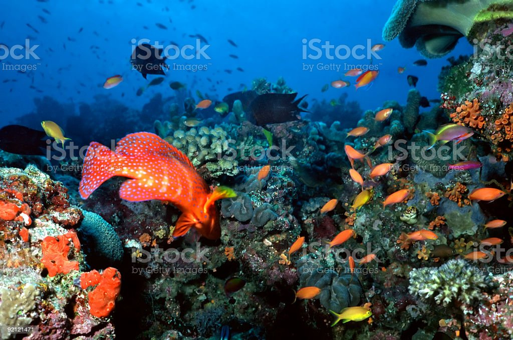 Espèces de poissons colorés sur un récif de corail aux Maldives photo libre de droits