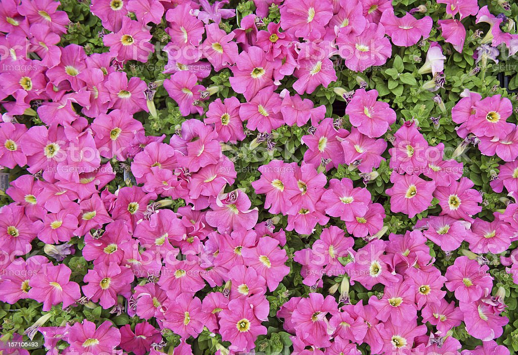 Colorful Flower Bed of Petunias royalty-free stock photo