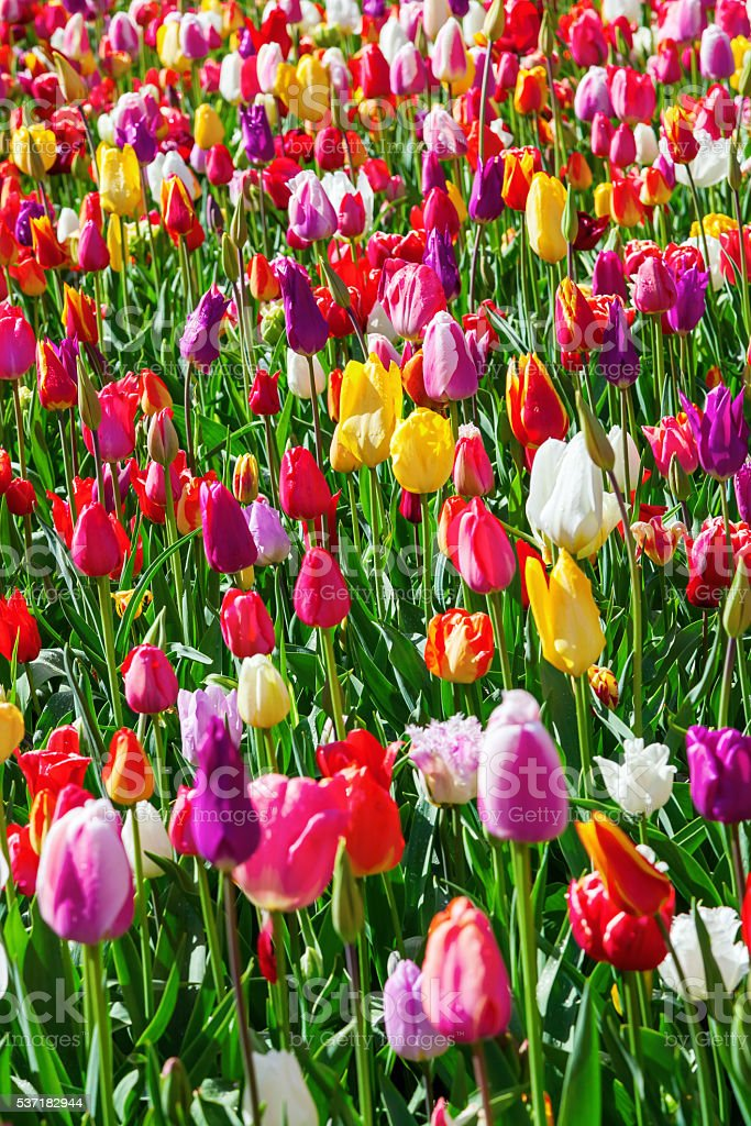 colorful flower bed with tulips in spring stock photo