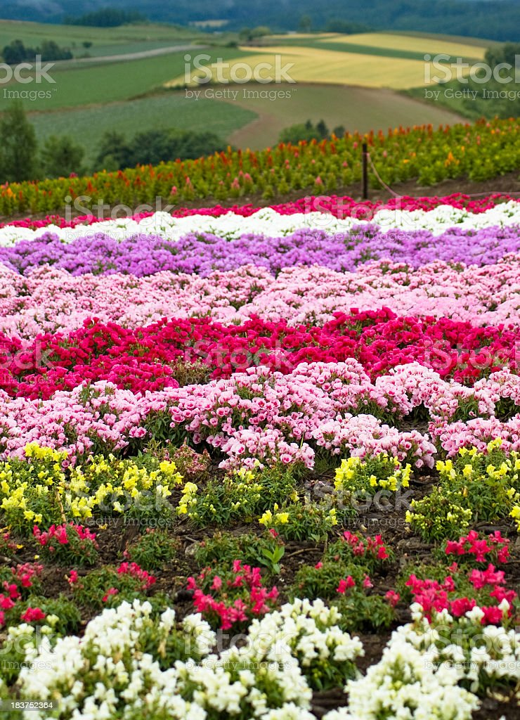 Colorful flower field in Biei, Hokkaido, Japan stock photo