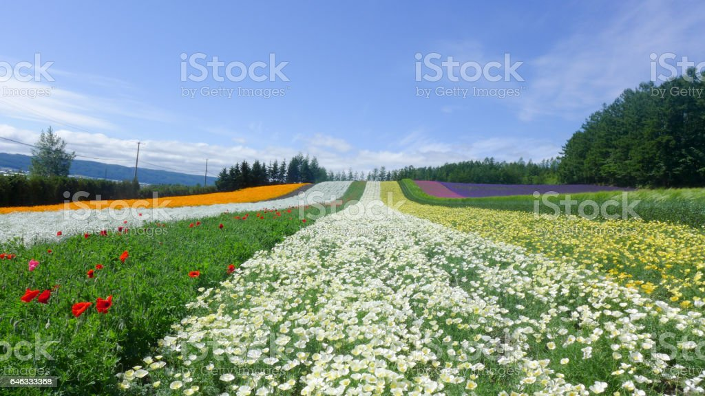 colorful flower field , nature background stock photo