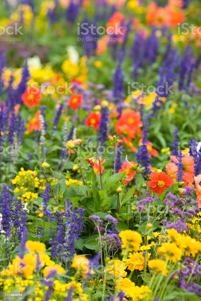 Colorful Flower Field royalty-free stock photo