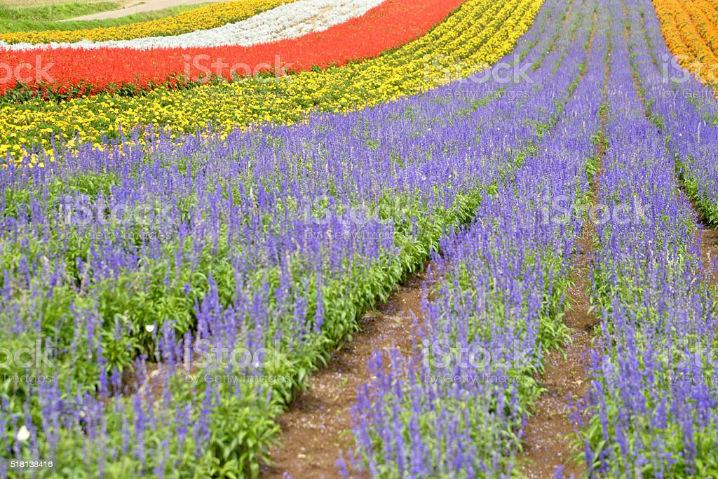 Colorful flower field with lavenders, Hokkaido, Japan stock photo