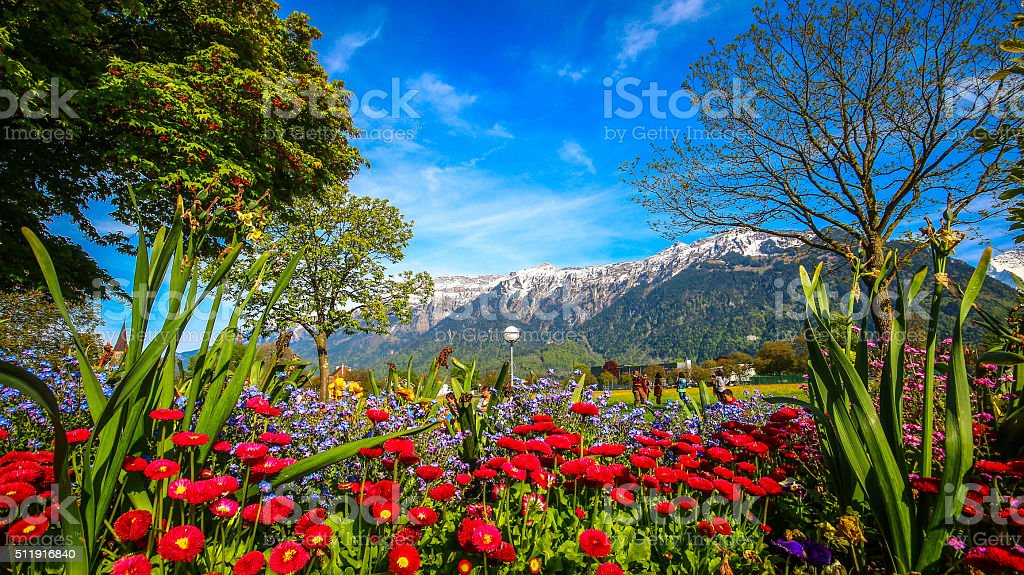 Colorful flower field with Mountain Alps stock photo