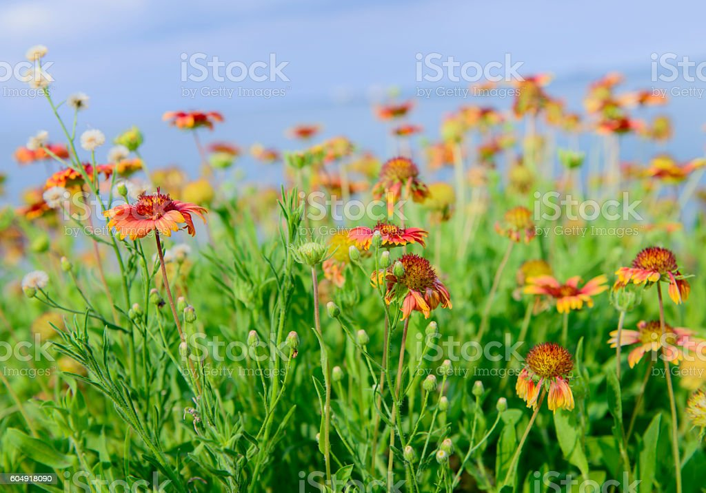Colorful flower Gaillardia stock photo