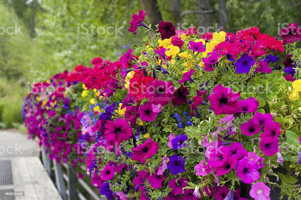 Colorful Flowers in Flowerbox stock photo