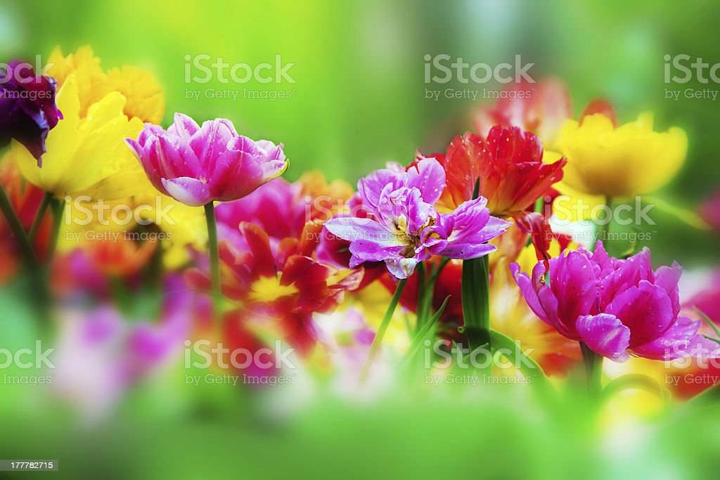 Colorful flowers in spring garden royalty-free stock photo