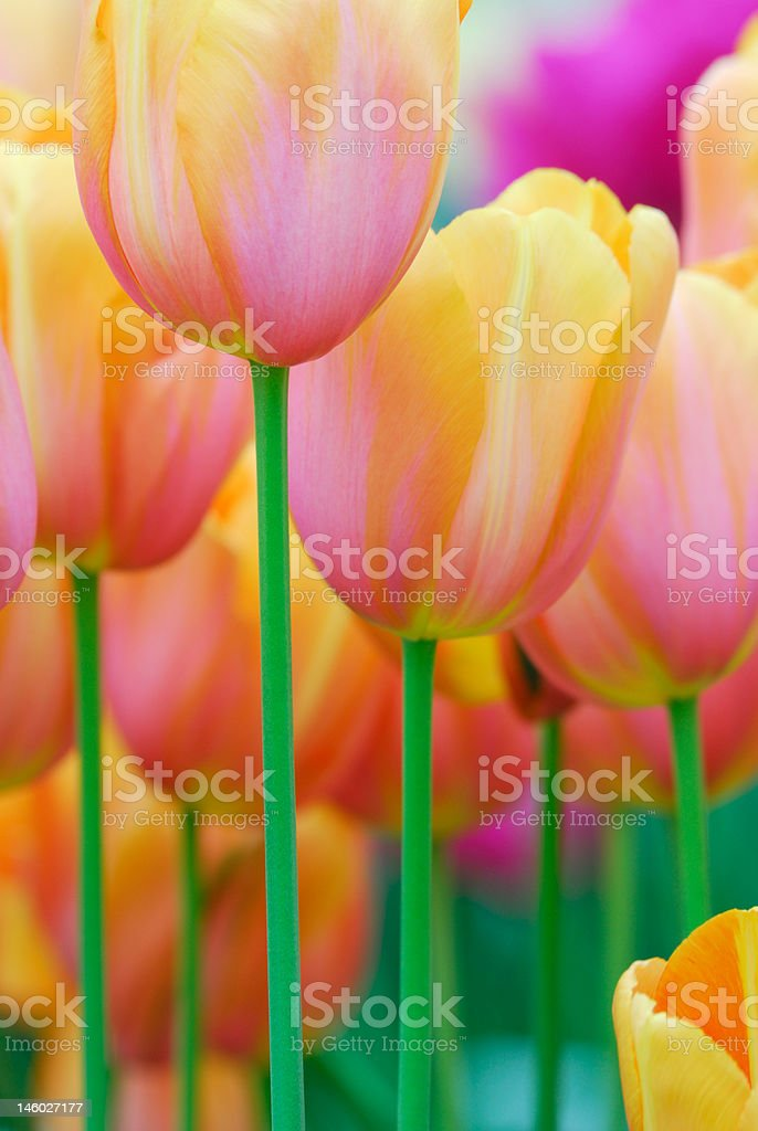 colorful flowers in spring royalty-free stock photo