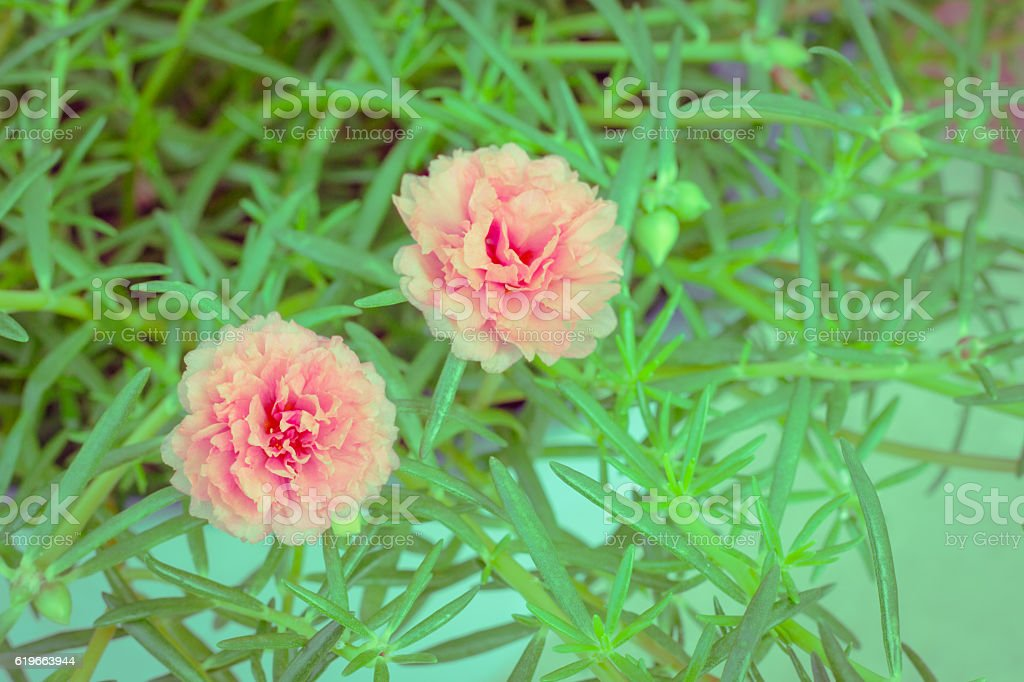 Colorful flowers of Portulaca oleracea. stock photo