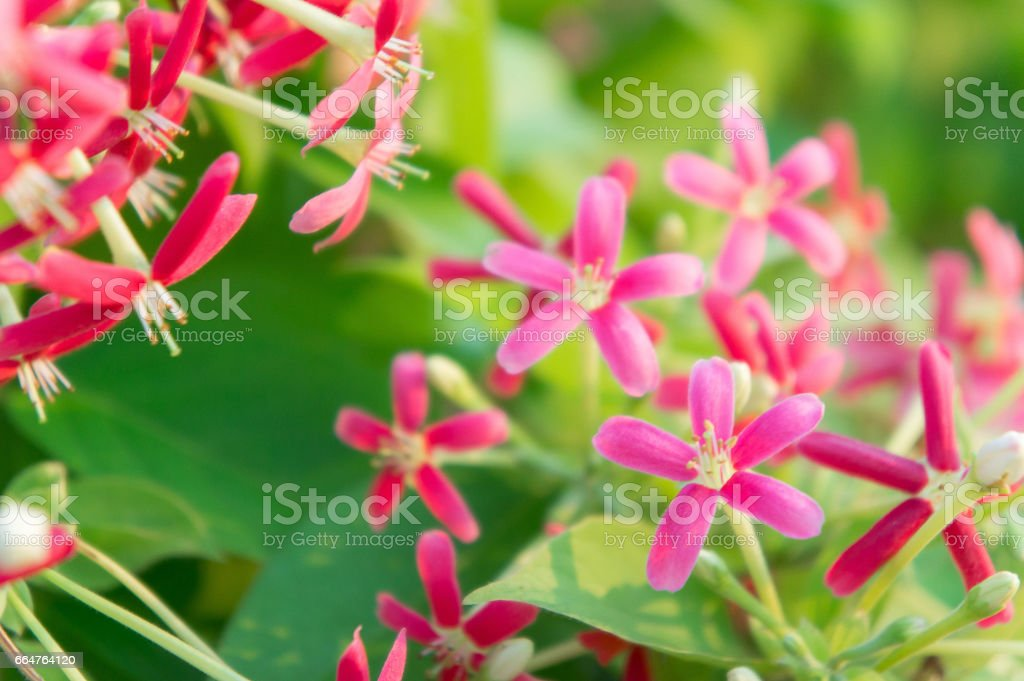 colorful flowers , Quisqualis indica flowers , Combretum flowers in the garden blossom flowers stock photo