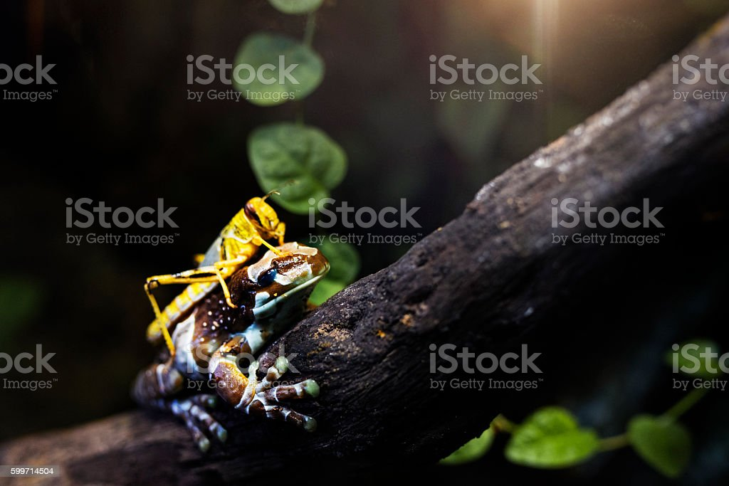 colorful frog and grasshopper stock photo