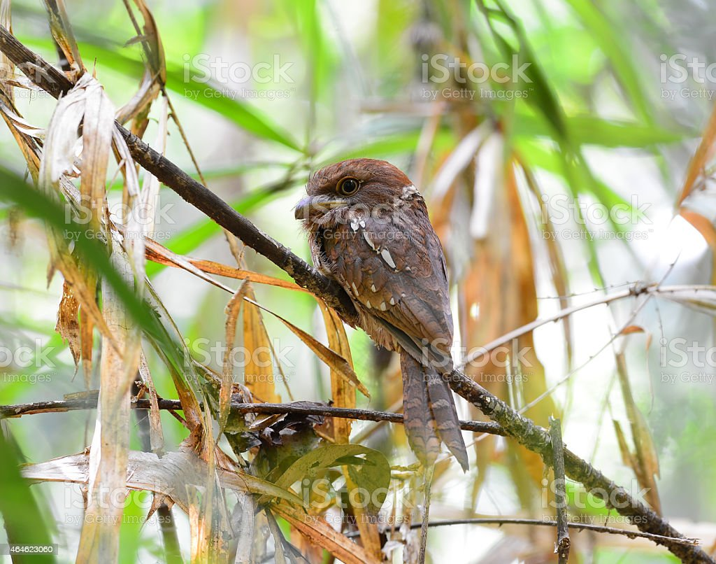 Colorful Frogmouth bird, Gould's Frogmouth standing on a branch, stock photo