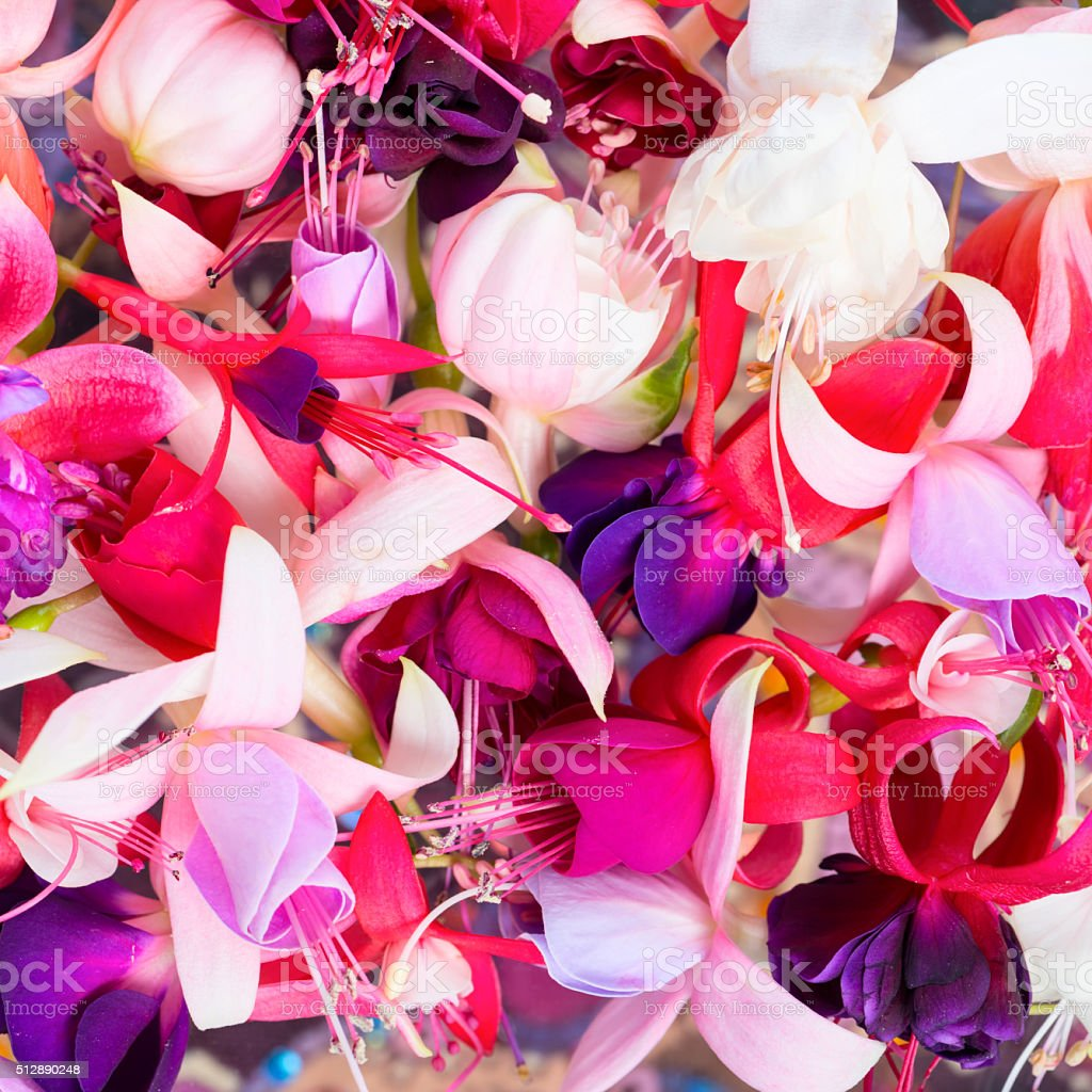 colorful fuchsia flowers like background, card for summer stock photo