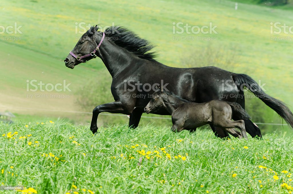 colorful galloping horses - mare and foal on meadow stock photo