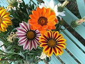 colorful gazania flowers blooming background