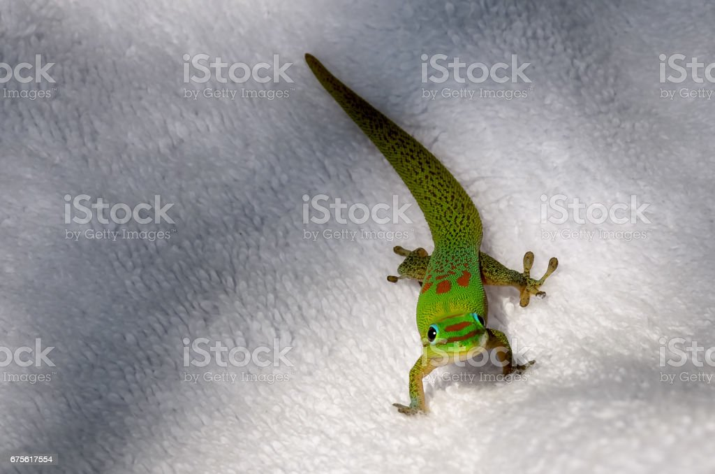 Colorful gecko lizard looking at camera on white towel stock photo