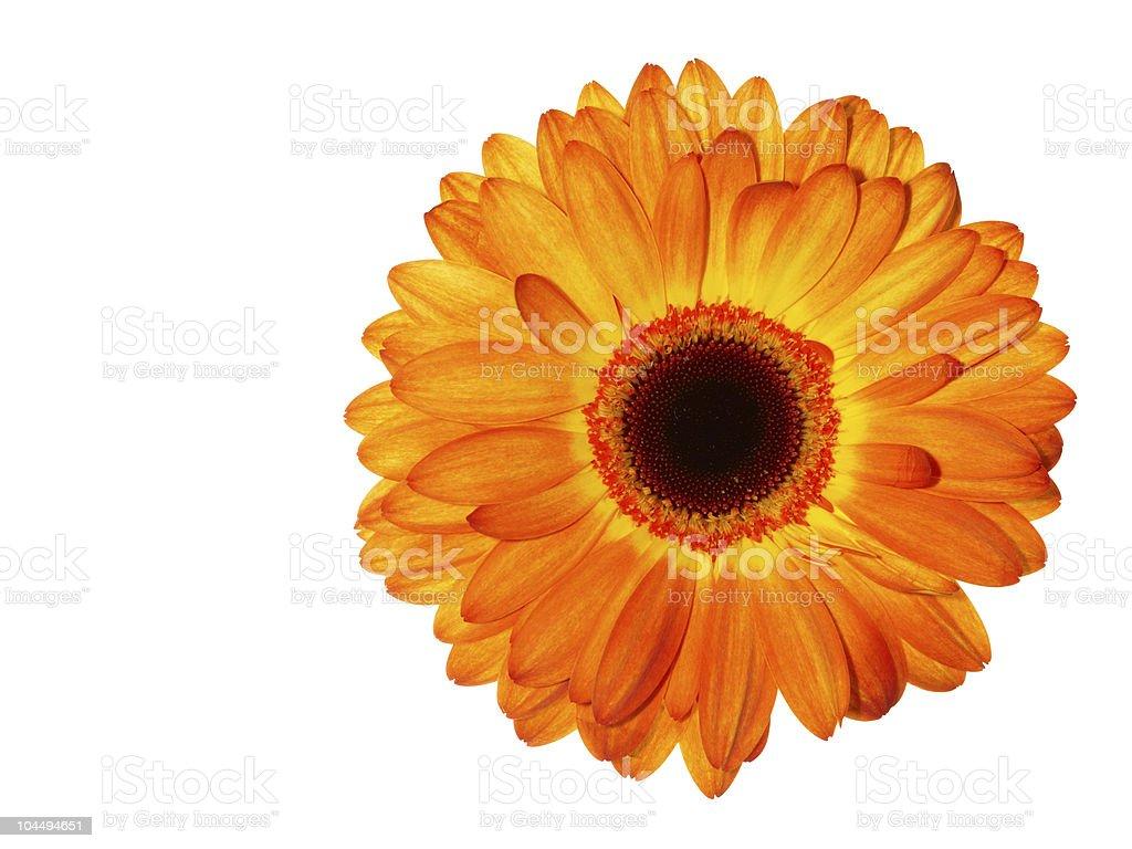 Colorful Gerbera Daisy royalty-free stock photo