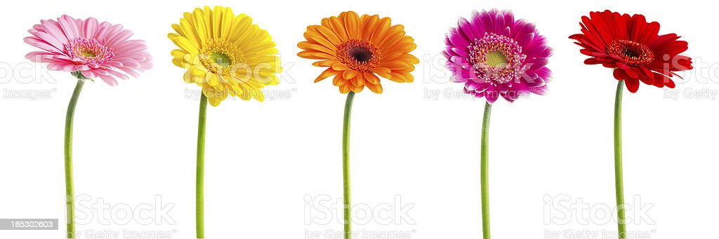 Colorful Gerberas Daisies (Clipping Path) stock photo
