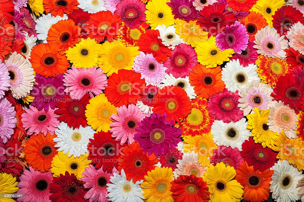 Colorful gerberas stock photo