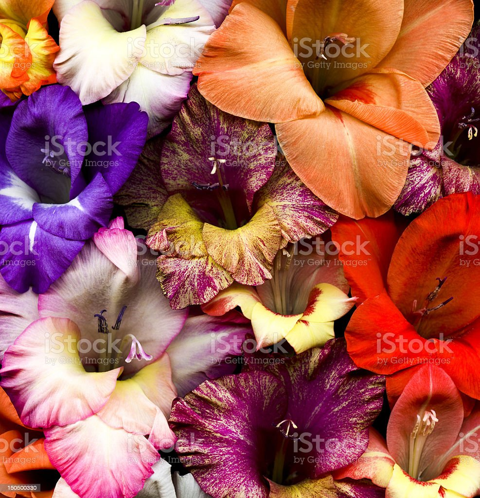 Colorful gladiolas stock photo