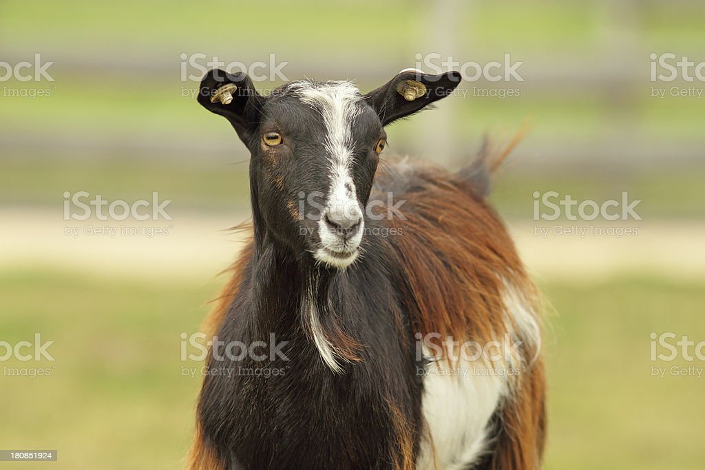 colorful goat royalty-free stock photo