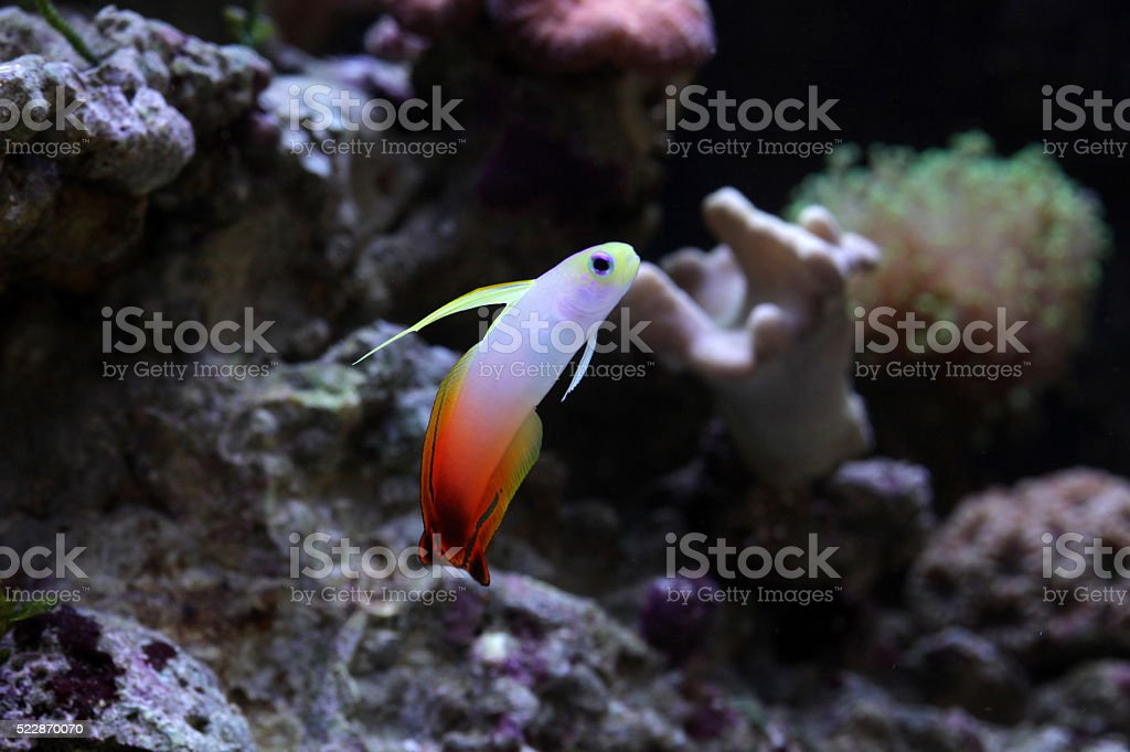 Colorful goby in reef environment stock photo