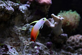 Colorful goby in reef environment