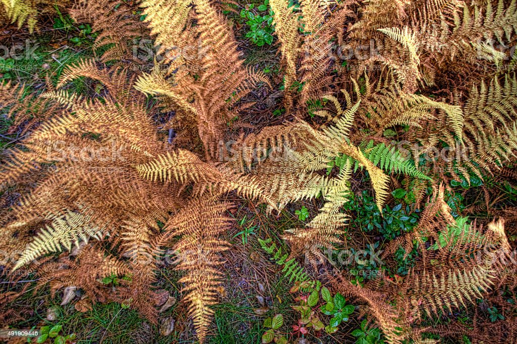 Colorful Golden Fern in Maine stock photo