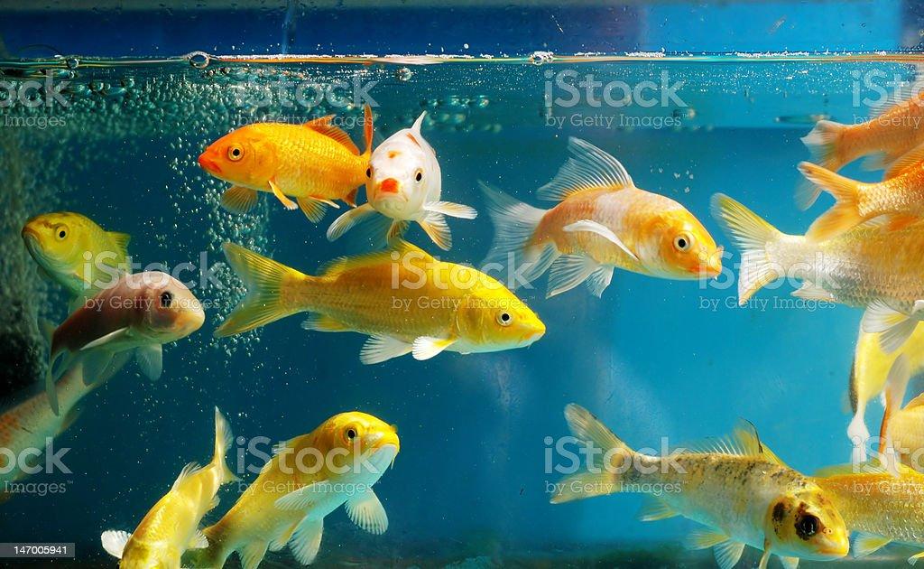 Colorful golden fishes in aquarium stock photo