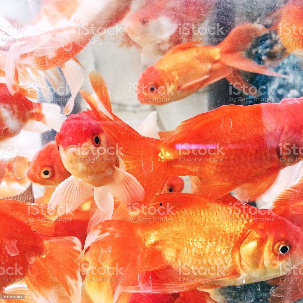 Colorful golden fishes stock photo