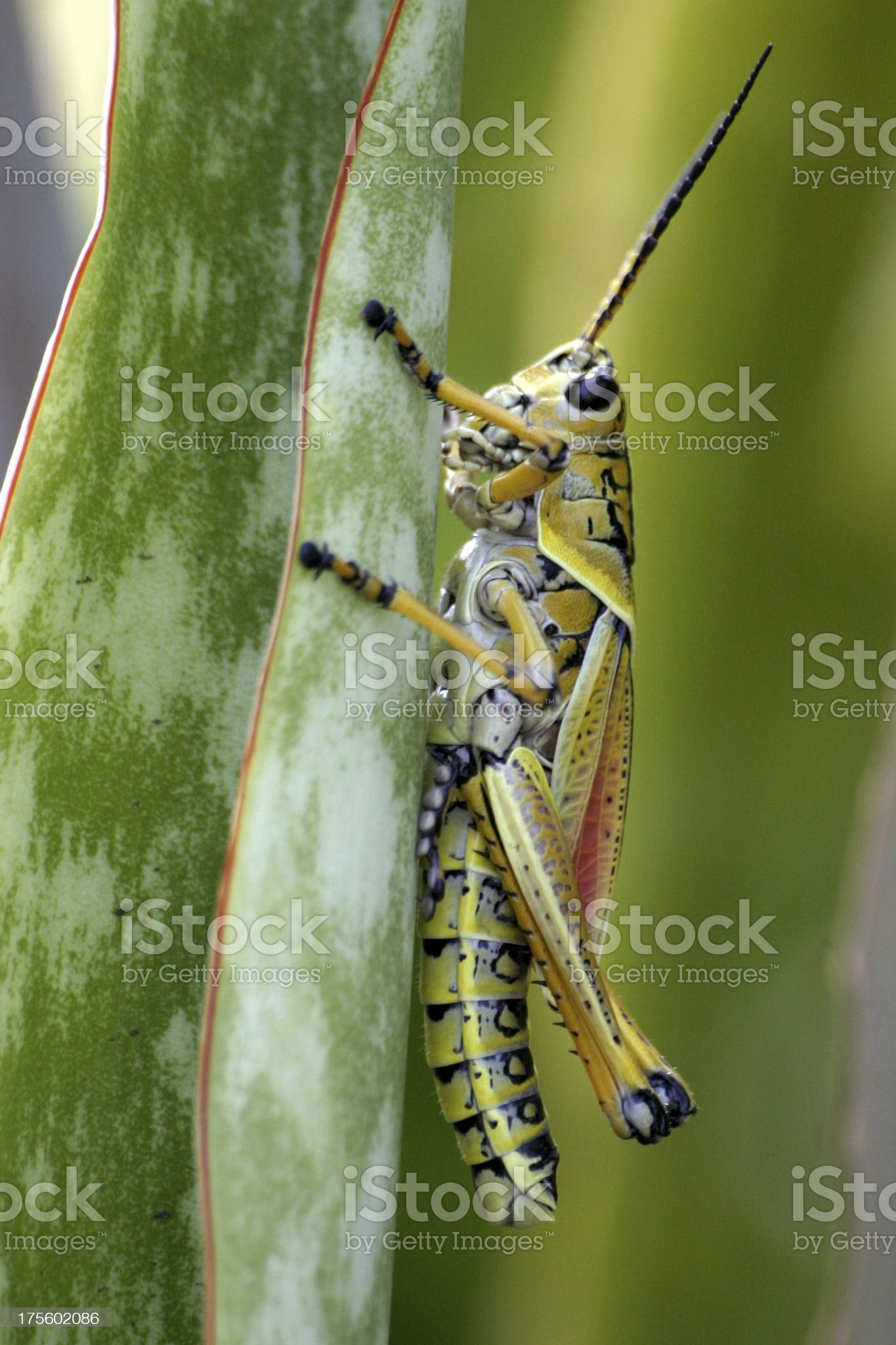 colorful grasshopper royalty-free stock photo