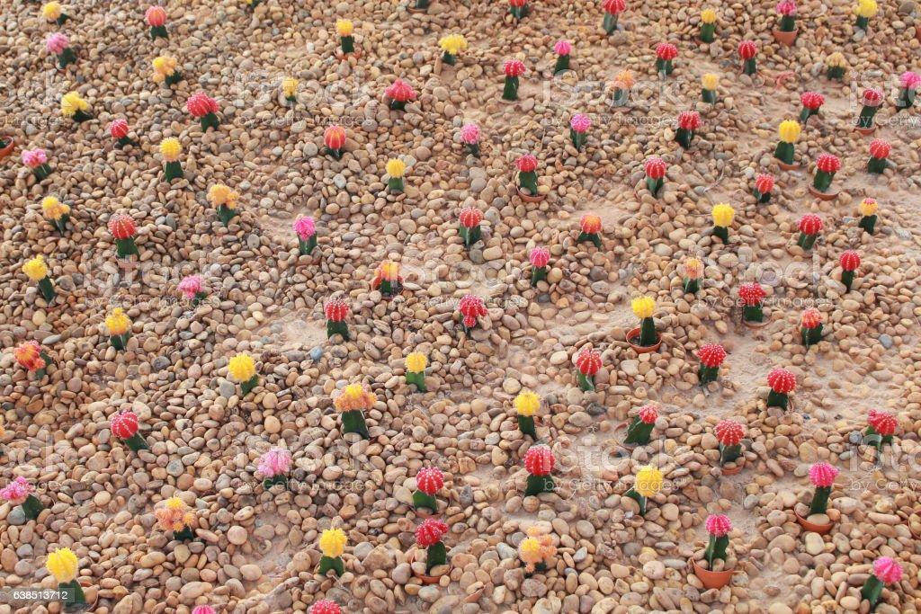 Colorful gymnocalycium Cactus garden stock photo