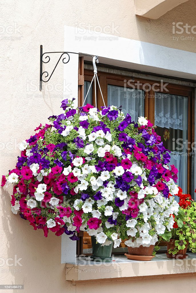 A colorful hanging pot of petunia in a home's exterior stock photo