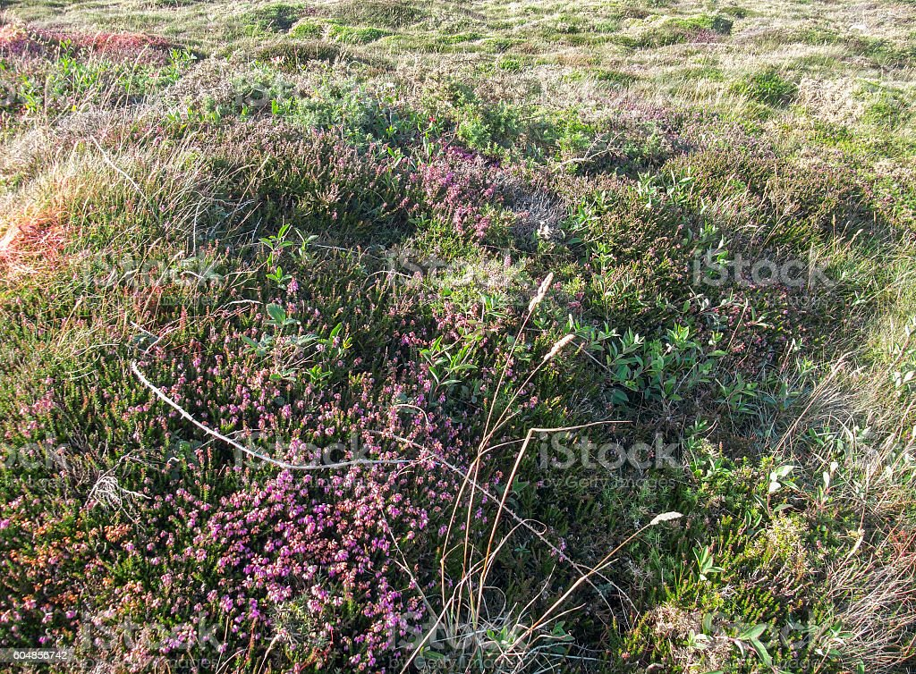 colorful heath vegetation detail stock photo