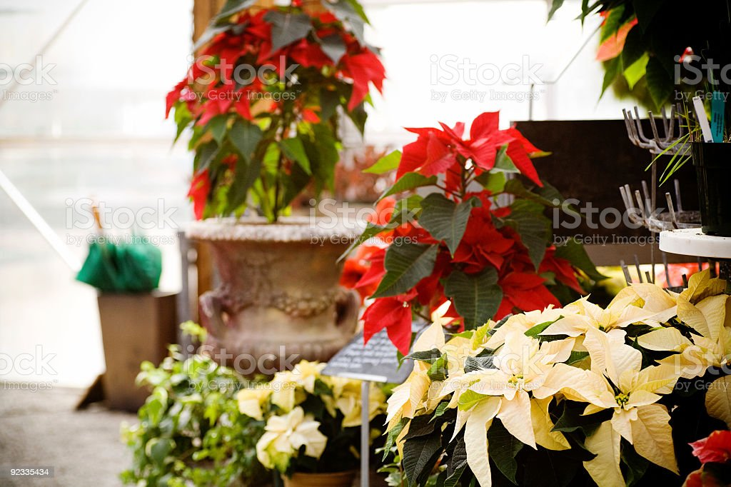 Colorful holiday poinsettias on display royalty-free stock photo